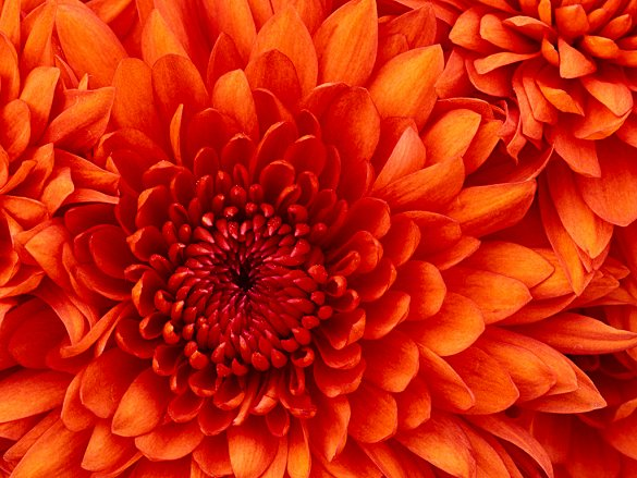 Chrysanthemum - Copy (2).jpg